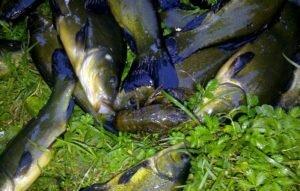 Если линь – рыба преобладающая