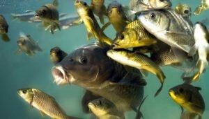 Неожиданная реакция речных рыб на простую кукурузу. Видео