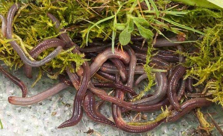 Секретная дедовская травка для повышенной уловистости червей